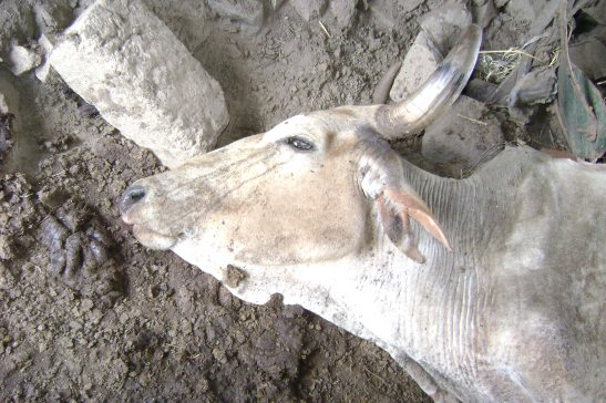 Dead livestock as a result of poorly managed tailings Dam at the North Mara Gold Mine owned and operated African Barrick Gold, a subsidiary of Barrick Gold Corporation. Photo by Afrikayetu