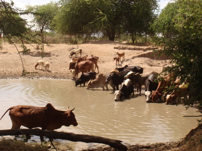 Livestock being watered in a local water pond in Majiri village Bahi District - Dodoma, Tanzania. The water sources used  both both humans and livestock is not commendable for consumption.